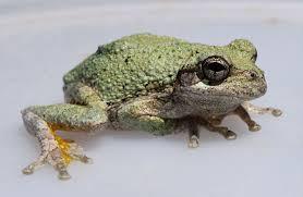 cope u0027s gray tree frog wikipedia