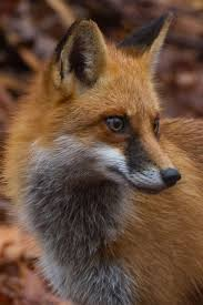 sleeping red fox wallpapers 352 best red fox in autumn images on pinterest red fox nature