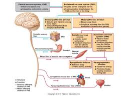 Ans Anatomy And Physiology Anatomy U0026 Physiology Lecture Notes The Nervous System