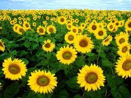 foto wallpaper bunga matahari sunflower wallpaper desktop latest wallpapers free download