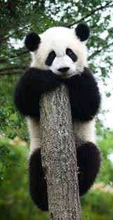 25 pandas ideas panda panda panda panda bear