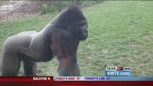 gorilla breaks glass at nebraska zoo youtube