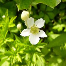 plants native to illinois starved rock state park illinois wood anemone white flower