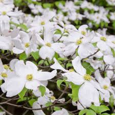 white flowering dogwood dogwood white flower farm