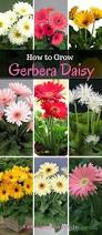 best 25 gerbera daisy seeds ideas on pinterest annual flowers