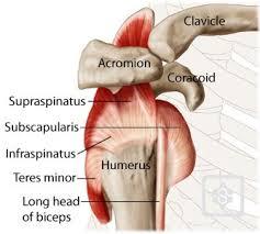 Human Shoulder Diagram Shoulder Diagram Rotator Cuff Anatomy Of The Rotator Cuff Injury