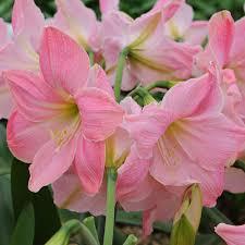 Amaryllis Flowers Amaryllis Sweet Star Amaryllis