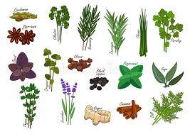 herbe cuisine épice et herbe de cuisine ingrédients de condiment illustration de