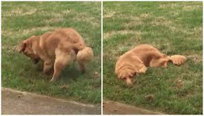 dog hides hole he just dug in the yard and looks hilariously guilty