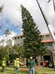 tree set up at honolulu hale the honolulu advertiser