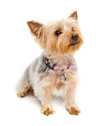 silky terrier hair cut 28 best dogs images on pinterest silky terrier yorkie and yorkies