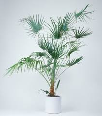 growing the lady palm rhapis excelsa indoors
