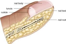 Human Anatomy Integumentary System Nh Chs Anatomy Integumentary System Burkley Boehm