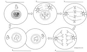 Mitosis And The Cell Cycle Worksheet Mitosis Coloring