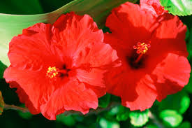 Which State Has A Hibiscus by The Meaning Of A Hibiscus Flower Hunker