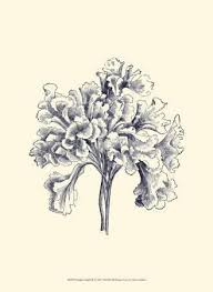 botanical illustration posters at allposters com