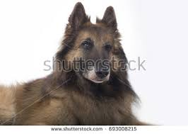 belgian sheepdog tervuren belgian sheepdog stock images royalty free images u0026 vectors