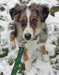australian shepherd male names australian shepherd animals pinterest australian shepherd