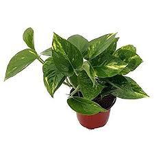 indoor vine plant indoor vine plants amazon com