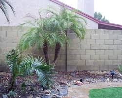 small garden with pygmy date palm tree planting pygmy date palm