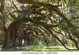live oak tree stock images royalty free images vectors