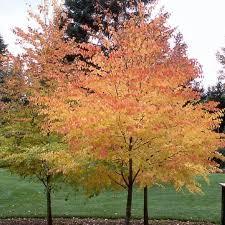 ornamental trees katsura cercidiphyllum japonicum smells