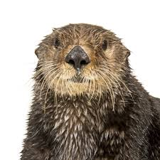 sea otter national geographic