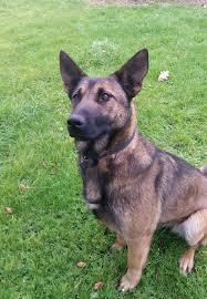 belgian shepherd x labrador rio the belgian malinois needs a new home dawg