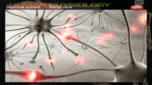 Nervous System Human Anatomy Nervous System How Human Body Works Human Body Parts And