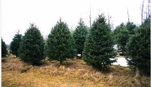 quality christmas trees anderson tree farm