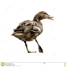 wild mallard duck with the broken leg vector graphic stock vector