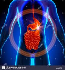 Anatomy Of Stomach And Intestines Stomach Guts Small Intestine Male Anatomy Of Human Organs