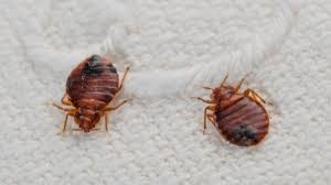 Bed Bugs In Sofa by Will I Get Bed Bugs From Buying Used Stuff Tonic