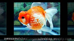 beautiful fish pictures download for desktop cool big fish color