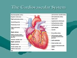 What Is Human Anatomy And Physiology 1 Human Anatomy And Physiology The Cardiovascular System 1