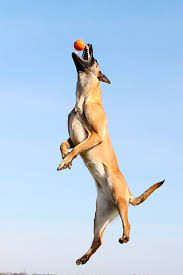 belgian malinois quotes malinois animal stock photos kimballstock