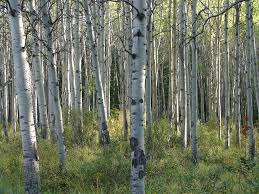 panoramio photo of white birch tree forest jasper alberta canada