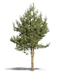 cut out small pine tree cut out trees and plants vishopper