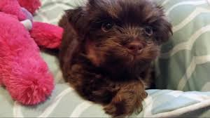 boxer dog utah california havanese puppies angie u0027s havanese puppies for sale