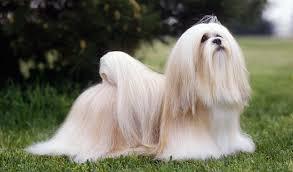 lhasa apso dog breed information