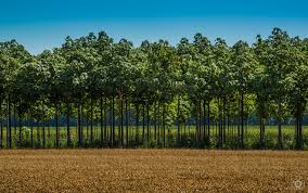 row of trees and wheat field background high quality free backgrounds