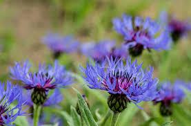 montana native plants connecticut garden journal perennial centaurea wnpr news