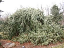 white pine tree what is a weeping white pine pendula white pine care and information
