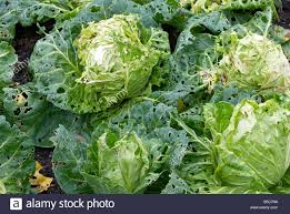 green cabbages damaged by caterpillars in an english vegetable