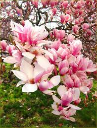 of china tree magnolia tree or tulip tree flowering trees pretty trees