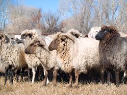 raising sheep for profit a cattle man u0027s view countryside network
