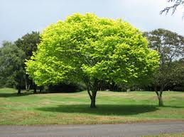 file bright green tree waikato jpg wikimedia commons