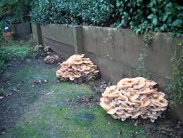 Are Backyard Mushrooms Poisonous Mushrooms Napa Master Gardener Column Anr Blogs