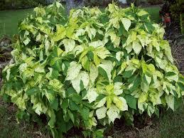 native florida plants low maintenance gardening south florida style south florida hedge plants v i