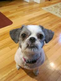 list of shih haircut sadie shih tzu gets a haircut linda s wish list pinterest dog